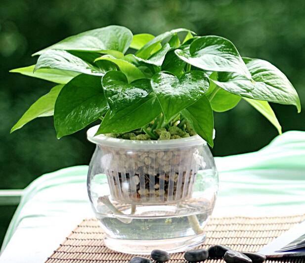 选好母株选择茎粗叶大,生长健壮的绿萝作为母株,并将其枝条截成每图片