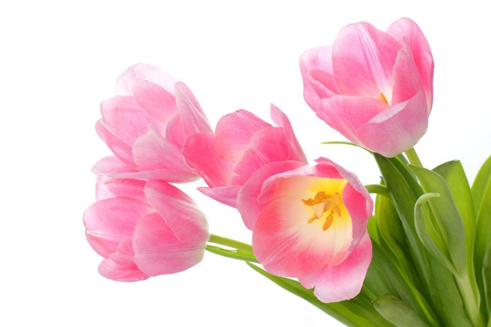 不同颜色郁金香的花语是什么?