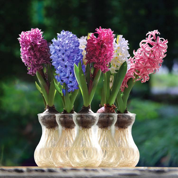风信子的花语是什么_白色紫色蓝色风信子花语是哪些