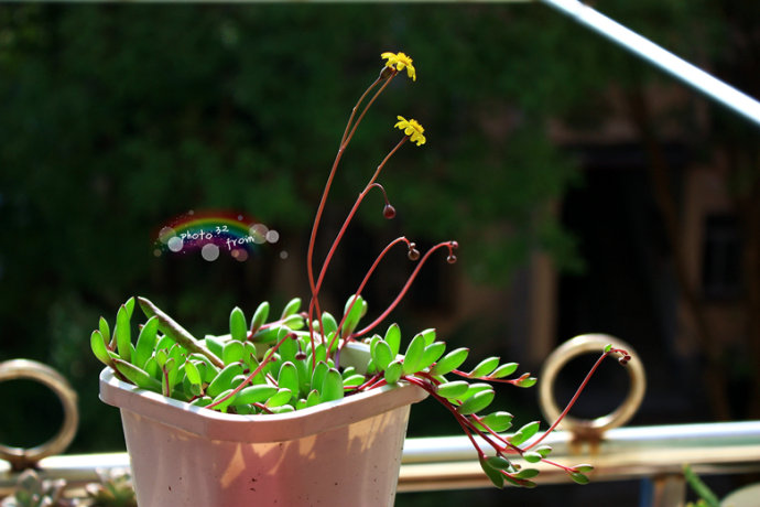 家里可养这样飘逸的植物:紫玄月