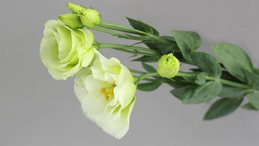 绿色的花有哪些你知道几种