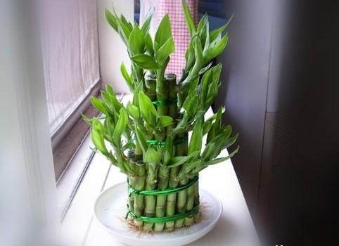 大叶富贵竹盆景制作方法有哪些