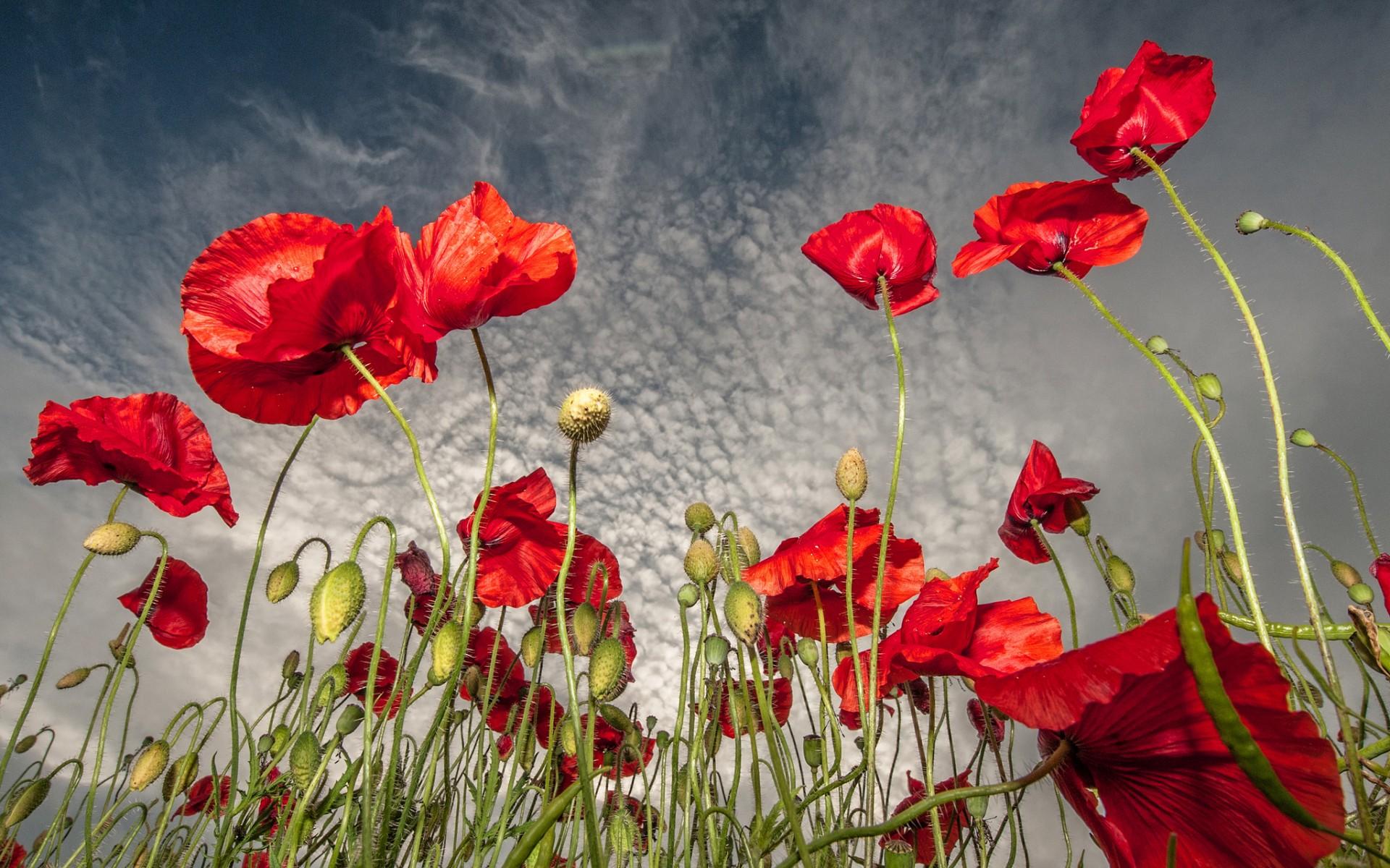 罂粟花:罂粟花的花语是什么_罂粟花图片