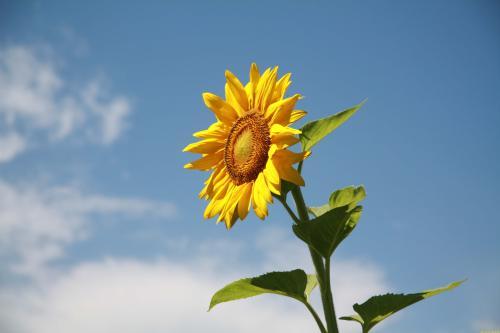 向日葵的花语是什么_有什么传说故事
