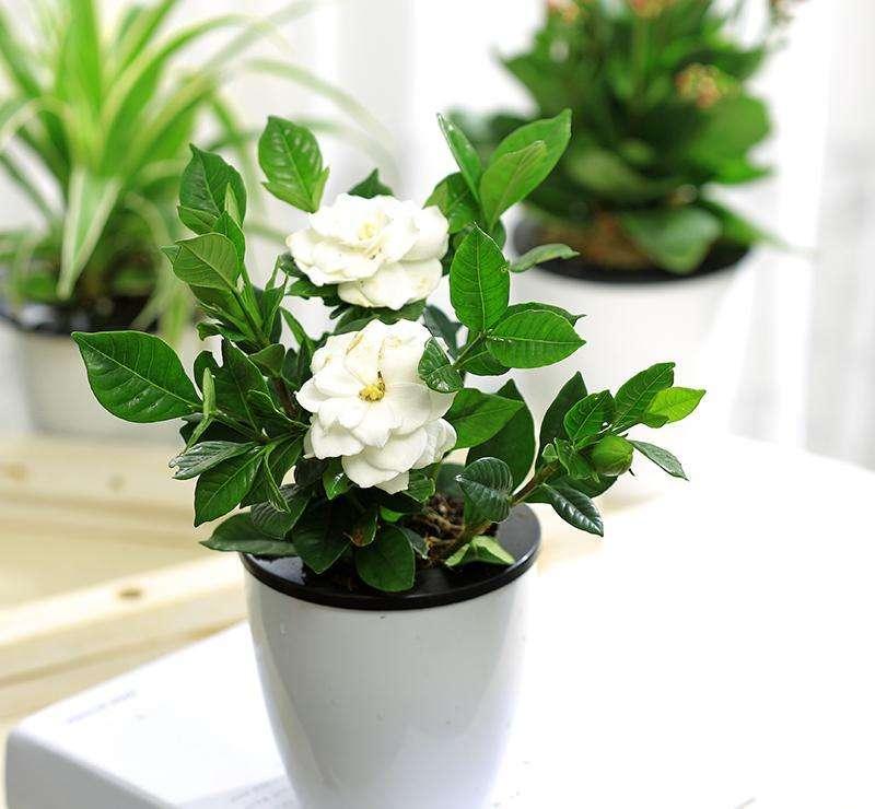 栀子花怎么养_栀子花的种植方法和注意事项是什么