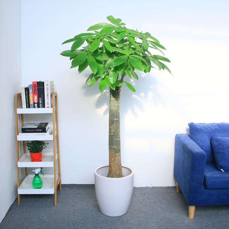在家中发财树怎么摆放