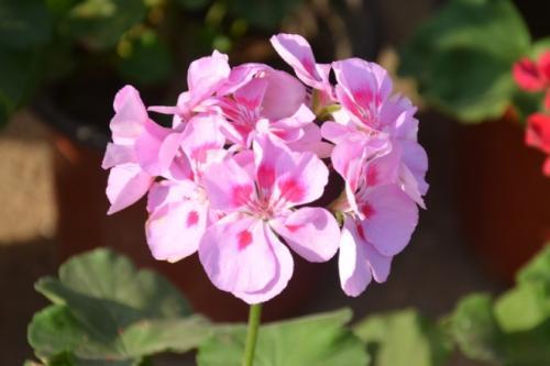 玫瑰天竺葵是玫瑰吗?