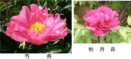 牡丹花和芍药花的区别是什么