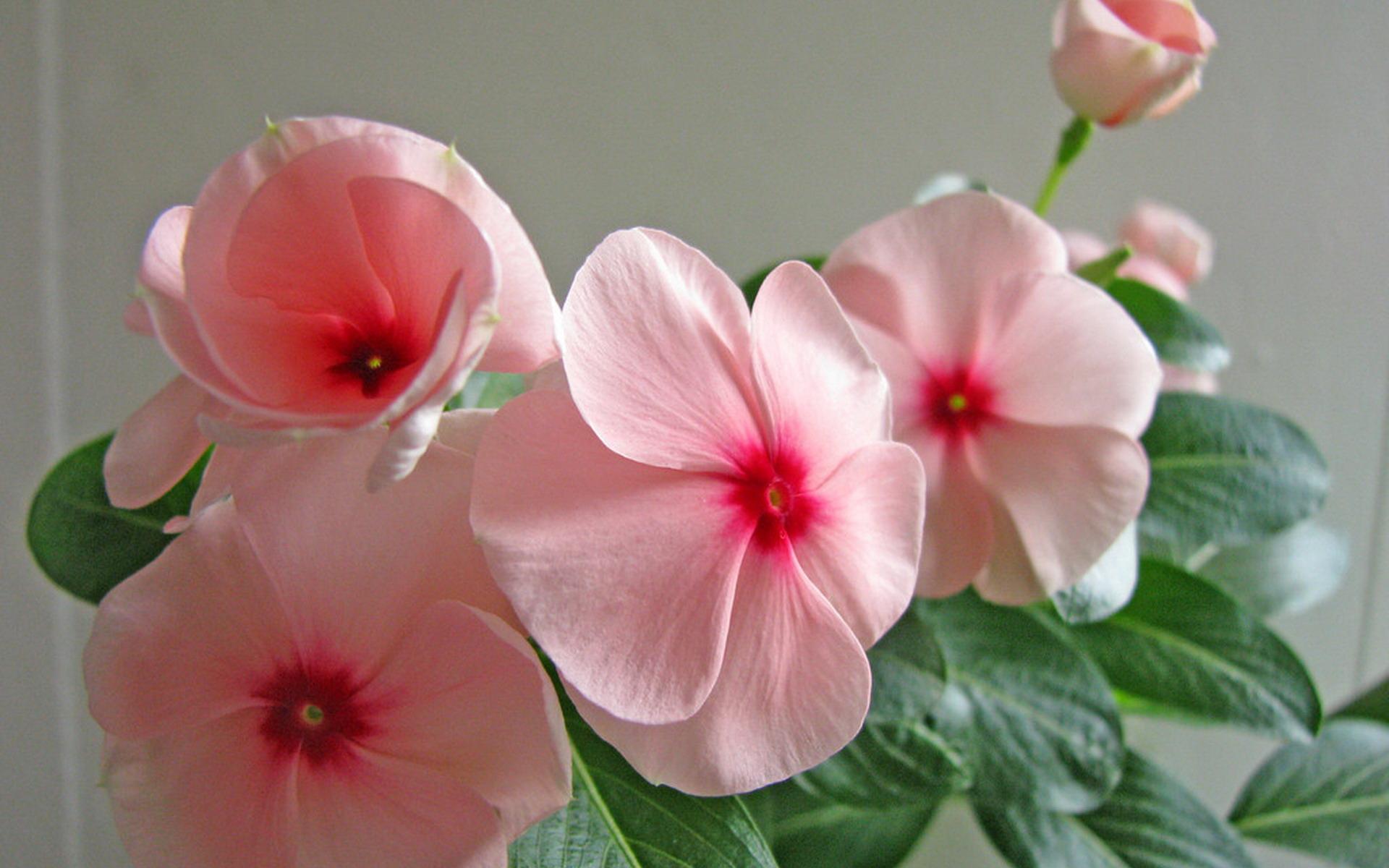 长春花花语是什么?长春花图片