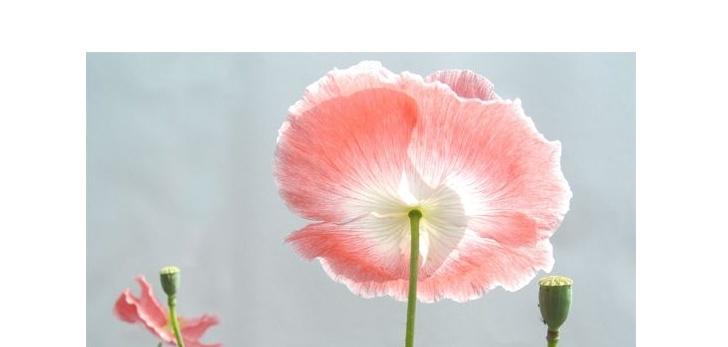 罂粟花语有哪些?罂粟花语介绍