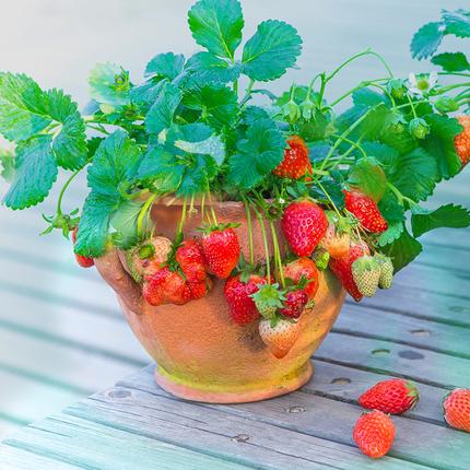 盆栽草莓怎么种植?