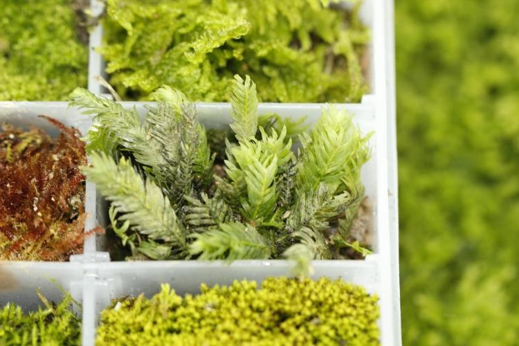解密苔藓植物为什么都是小个子呢?