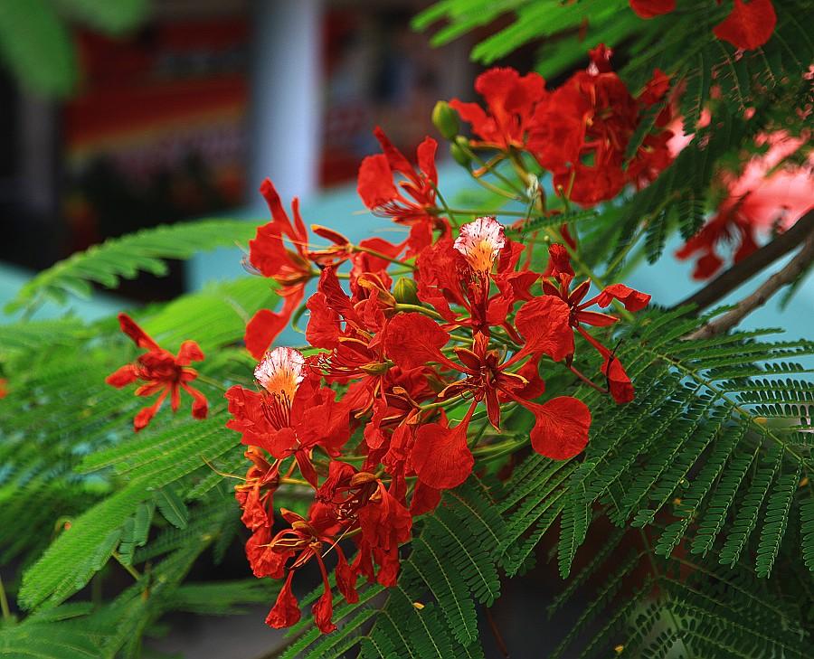 凤凰木有什么特征_凤凰木花语是什么?