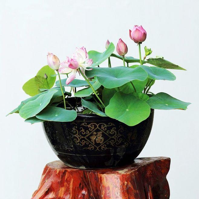 教你在自家如何栽种睡莲?