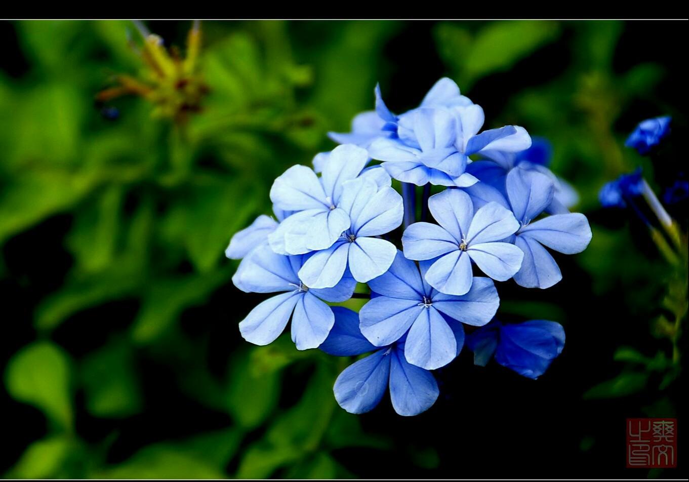 深受蓝色控喜爱的——蓝雪花,养在室内有毒吗?