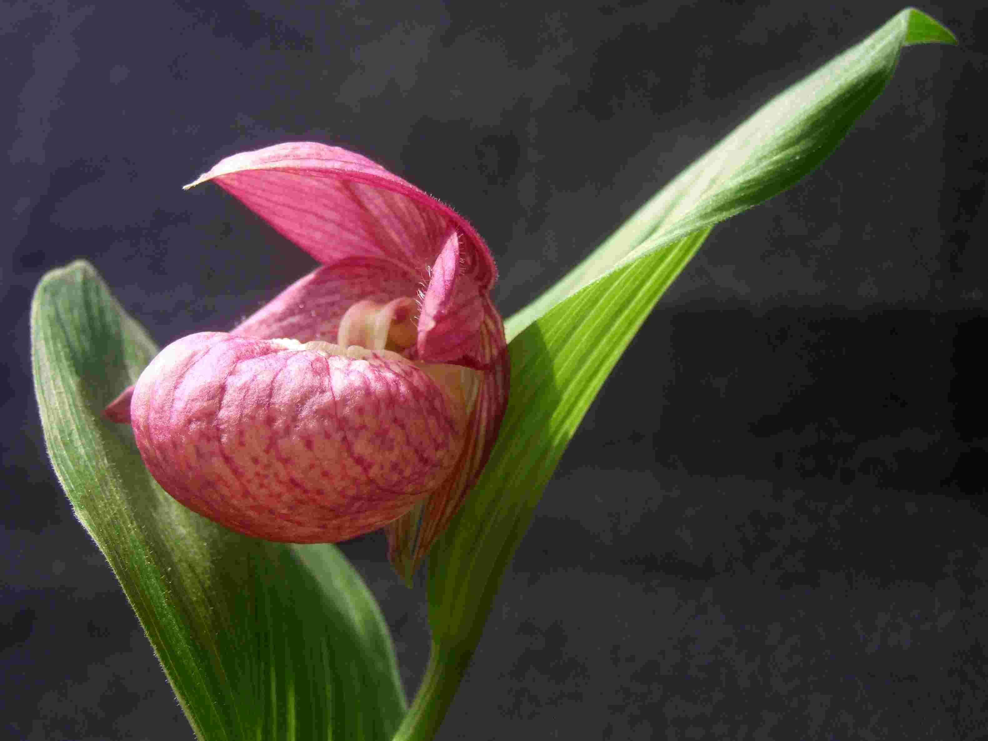 杓兰的种植方法有哪些