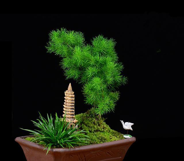 蓬莱松正确的种植方法是什么?