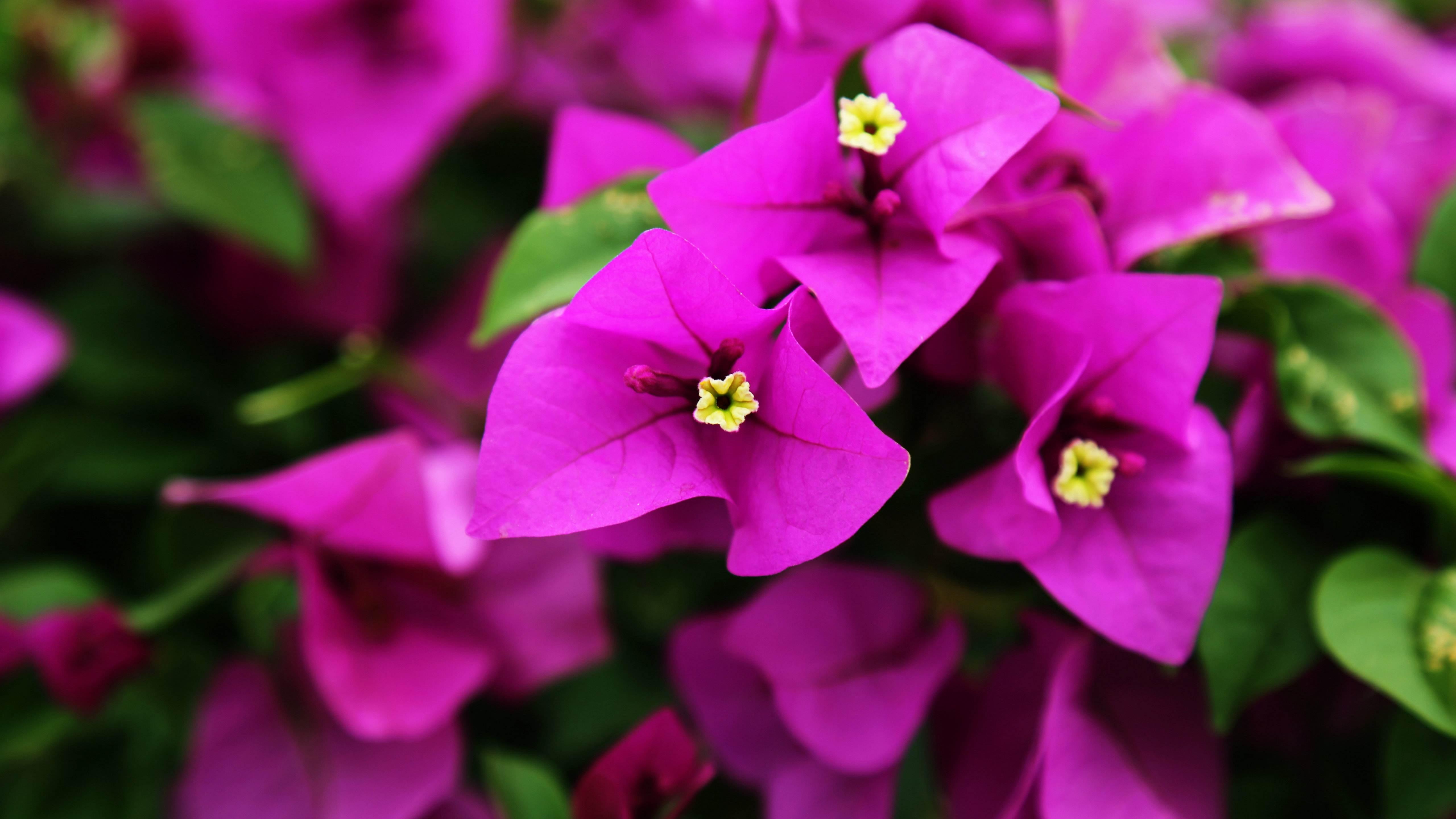三角梅多开花怎么养好?让三角梅开花的5大养护技巧
