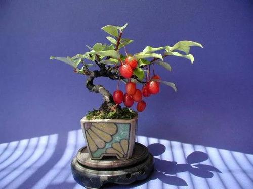 山茱萸种子的栽培技术是什么