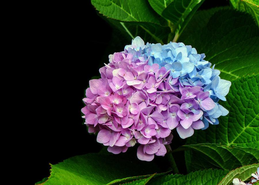 百花成朵团扶如球,你猜到是什么花了吗?
