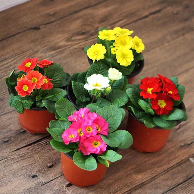 报春花的栽培需要注意哪些问题