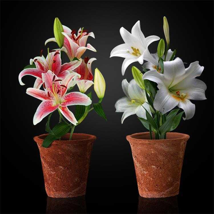 百合花的种植养护方法都有哪些呢