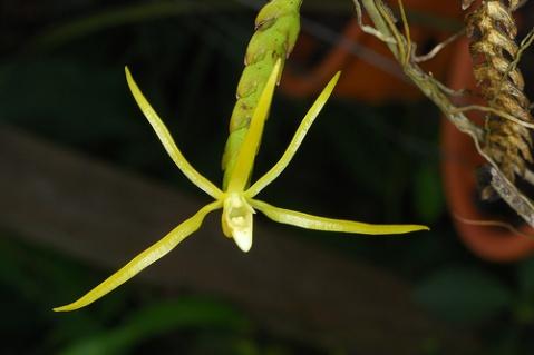白点兰是一种什么植物?白点兰图片及简介