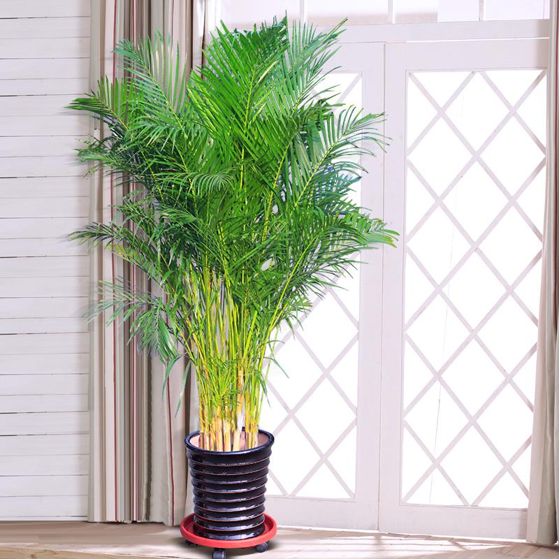 凤尾竹如何养殖