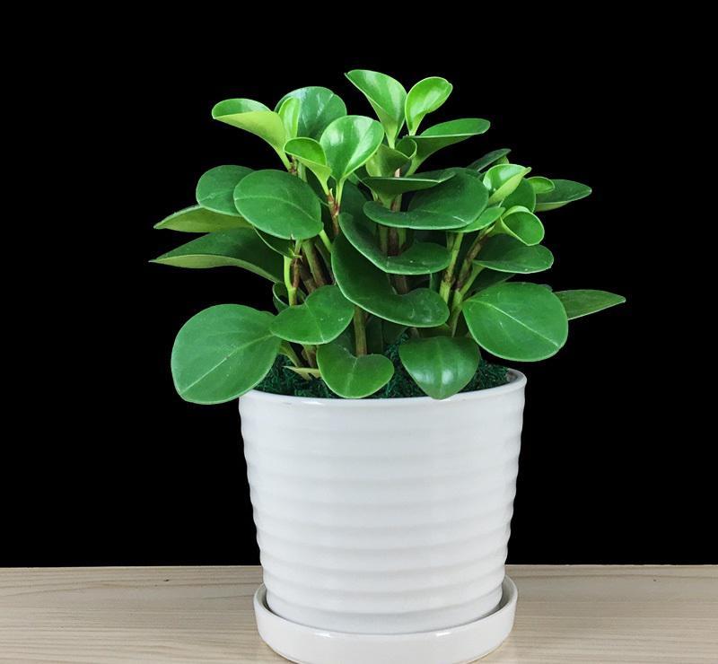 豆瓣绿是一种什么植物?豆瓣绿图片及简介