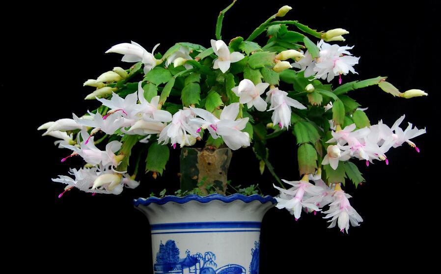 圣诞节花卉礼物大揭秘,绝佳的植物礼品!