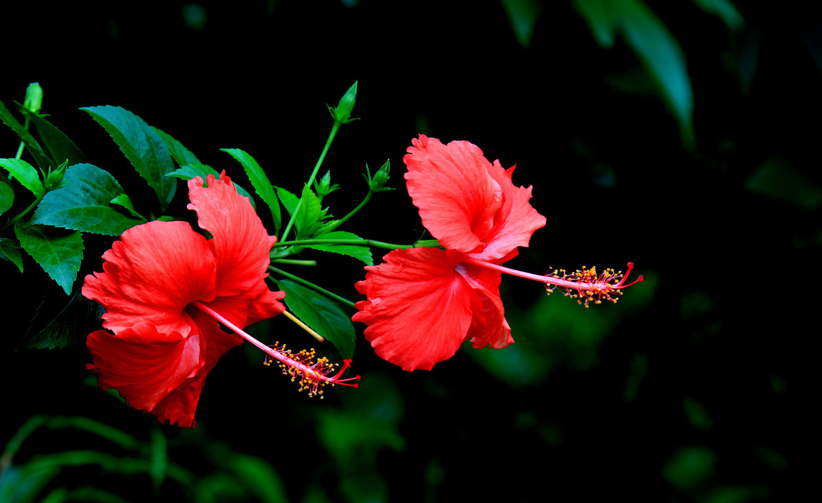 扶桑怎么养?花朵颜色艳美!