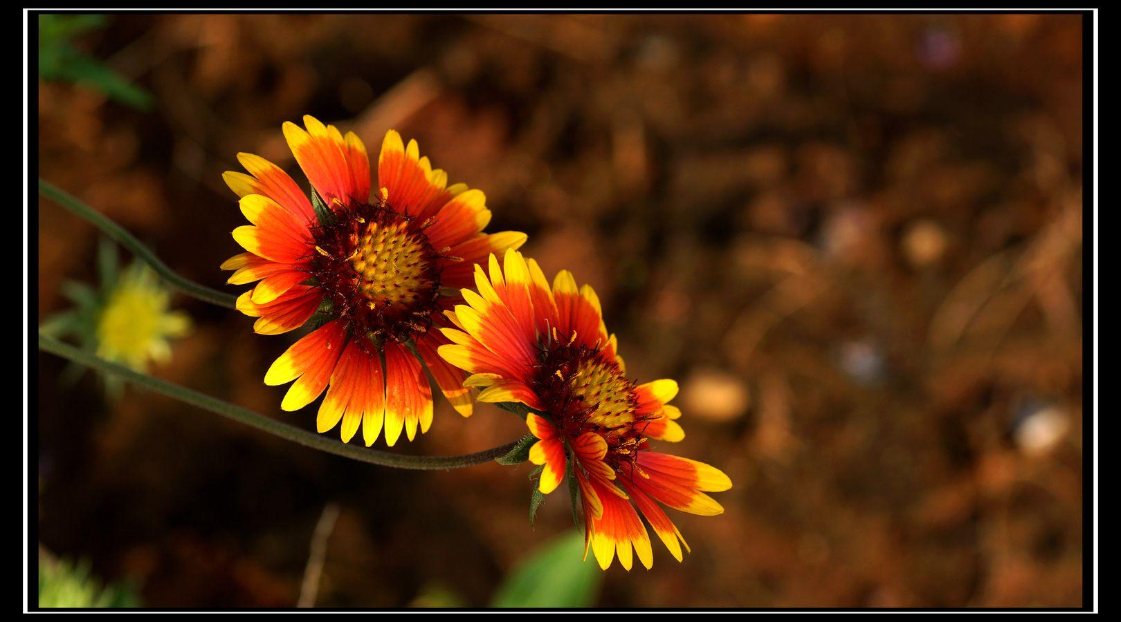 堆心菊是一种什么花卉植物?堆心菊图片及简介