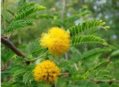 钝叶金合欢是一种什么植物?钝叶金合欢图片及简介