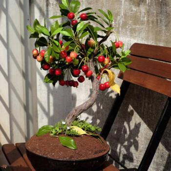 春季樱桃的栽植有哪些讲究