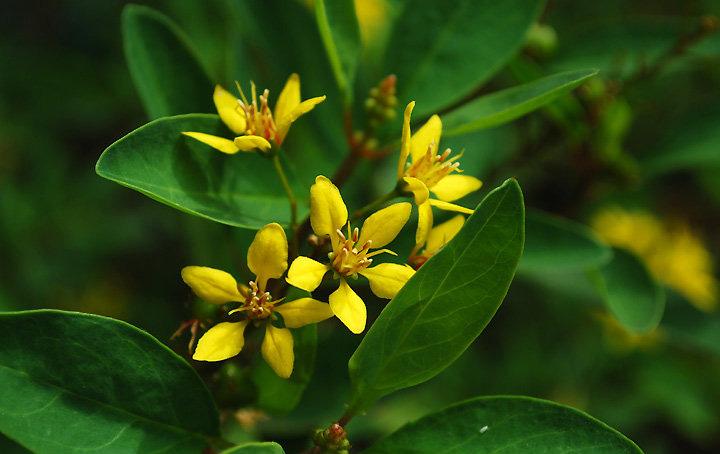 金英花是一种什么植物?金英花图片及简介