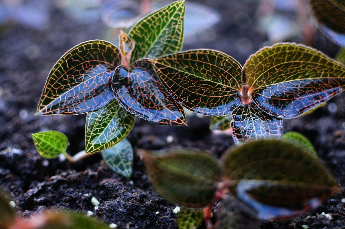 金线草是一种什么植物?金线草图片及简介