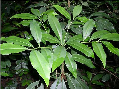 大罗伞是一种什么植物?大罗伞图片及简介