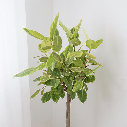 富贵榕是一种什么植物?富贵榕图片及简介