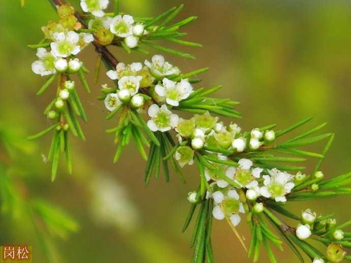 岗松是一种什么植物?岗松图片及简介