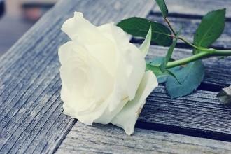 白玫瑰的种植技术要点有哪些