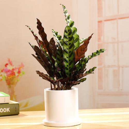 豹纹竹芋怎么养?