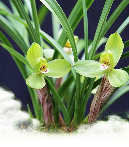桂圆梅是一种什么花卉植物?桂圆梅图片及简介