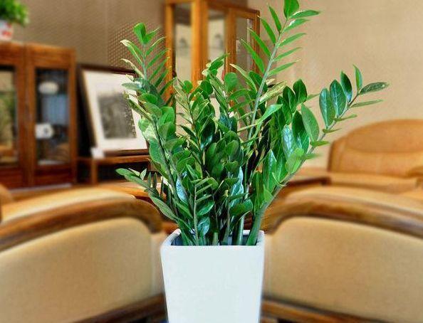 北京网上花店分享:金钱树的养殖方法需要注意什么