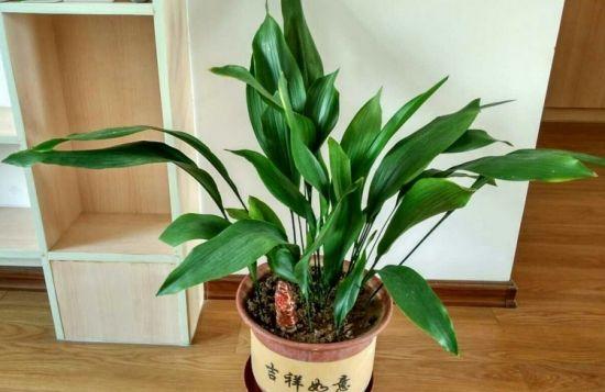 家庭盆栽一叶兰如何保持叶片常绿?