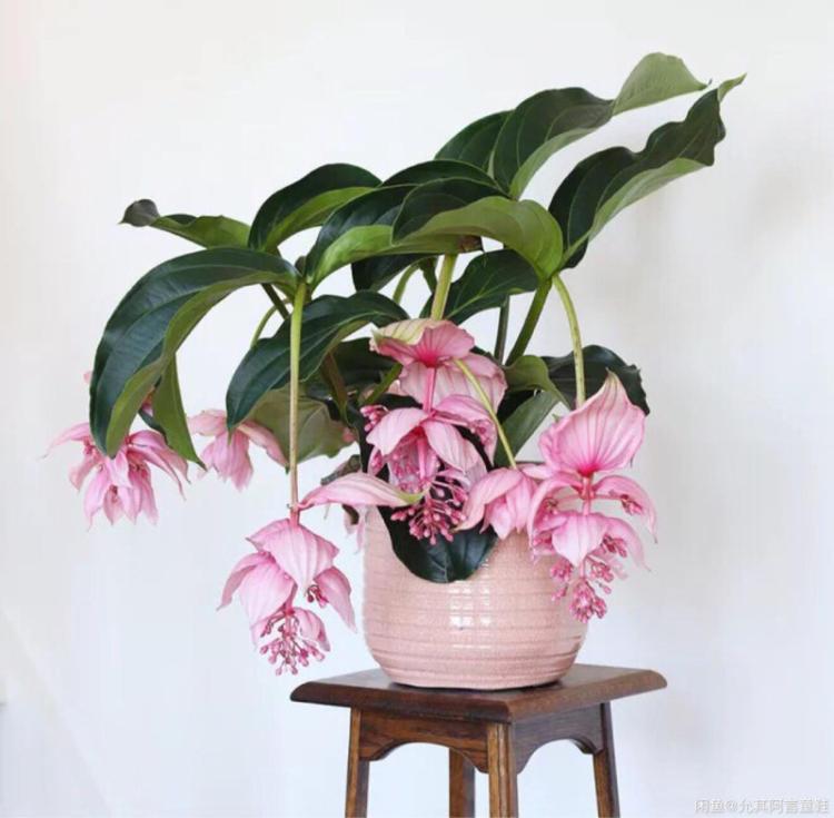 家庭盆栽宝莲灯花如何养?