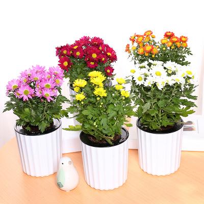 家庭盆栽菊花如何活的更久?
