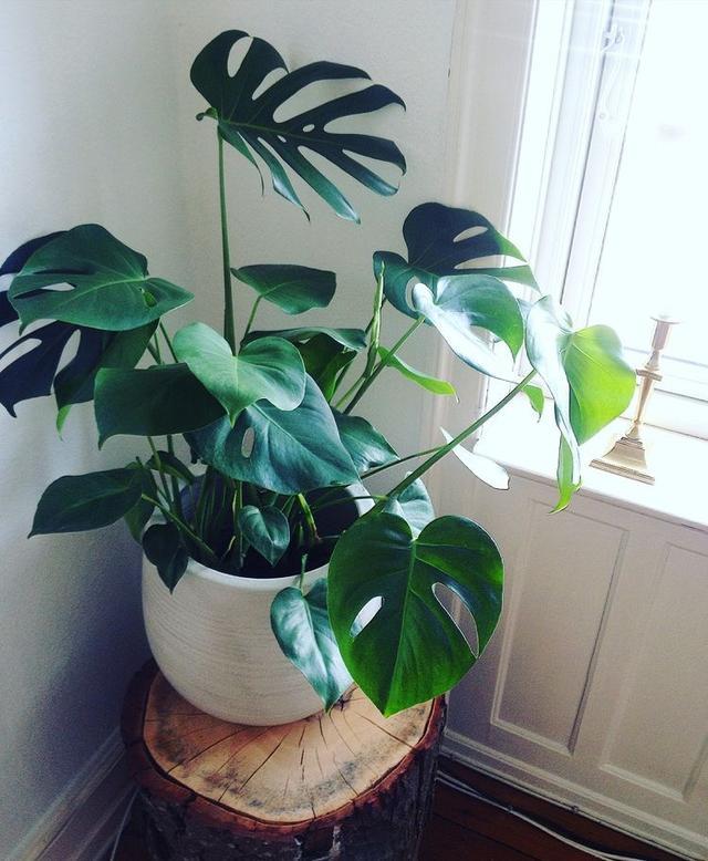 常绿藤本植物龟背竹有毒吗?