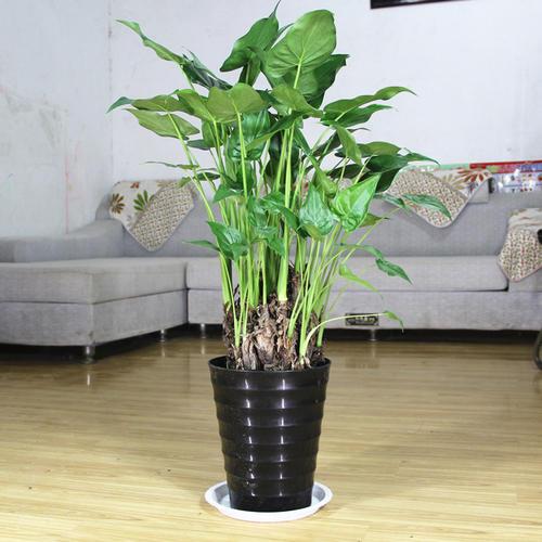 滴水观音五大种植技巧及种植需具备哪些条件?