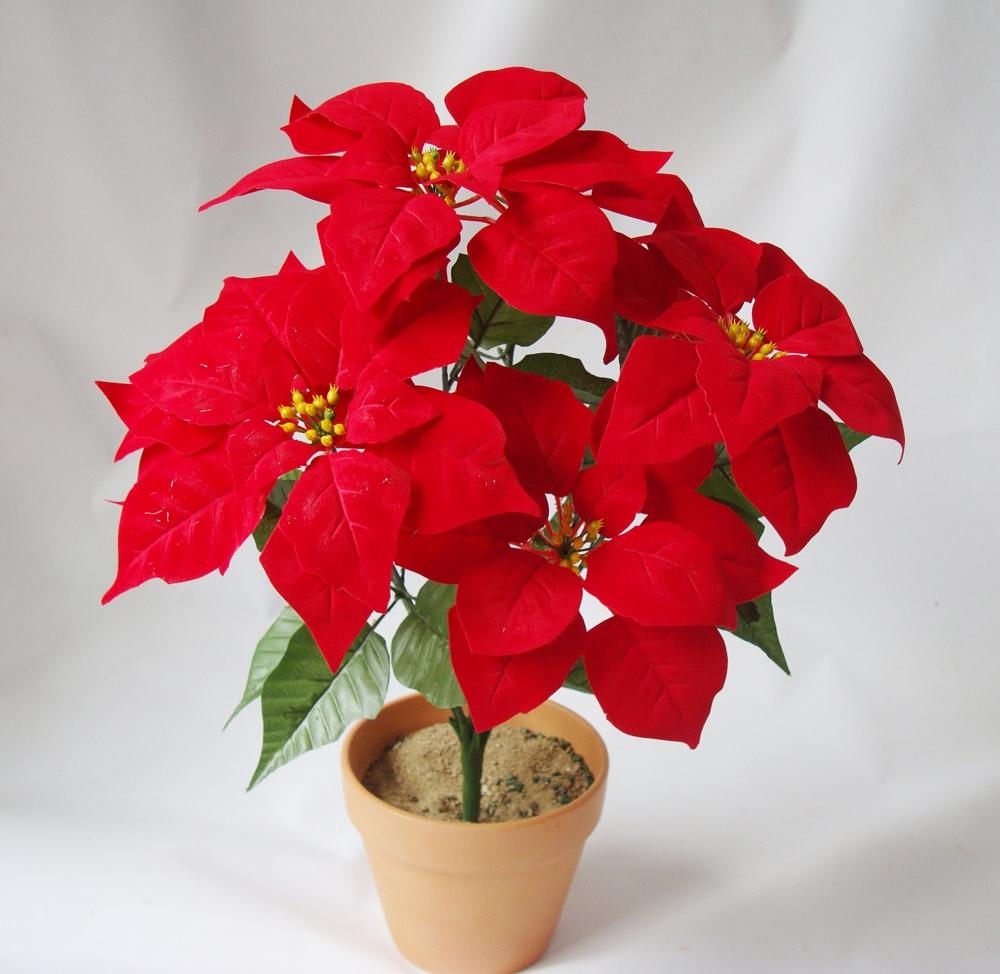 圣诞花的传说及花语是什么
