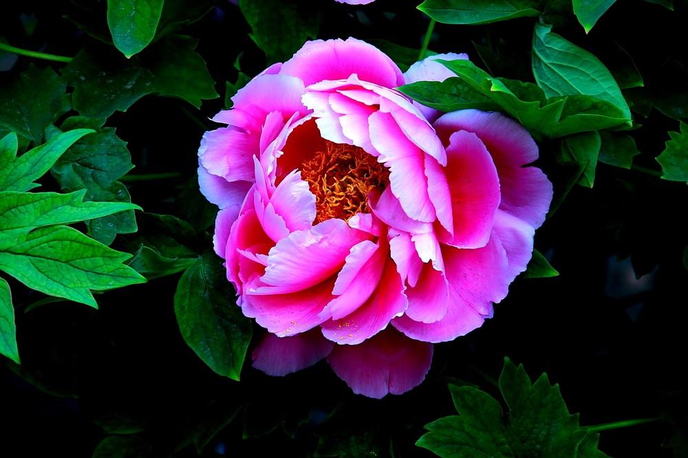 如何让牡丹花提前开花